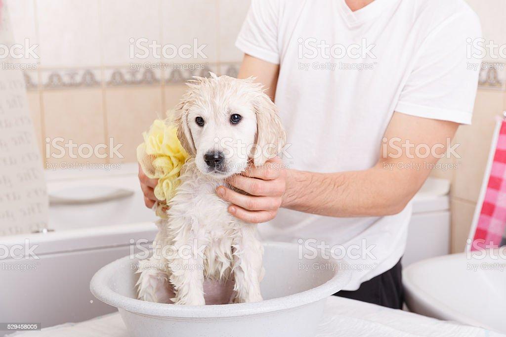 golden retriever puppy in shower stock photo