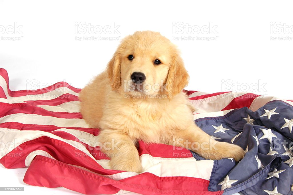 Golden retriever puppy laying on an American flag stock photo