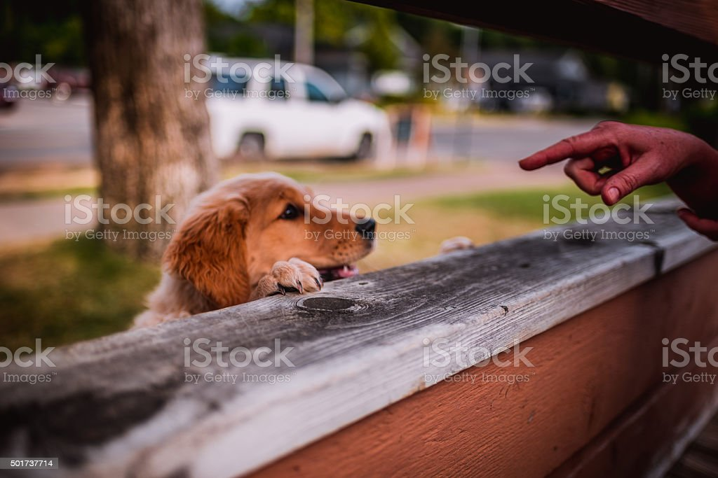 Golden Retriever Puppy Listening stock photo