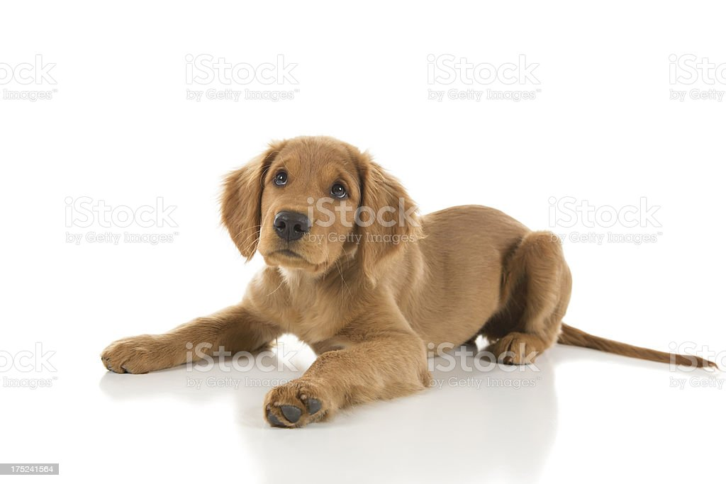 Golden Retriever Puppy Looking Up royalty-free stock photo