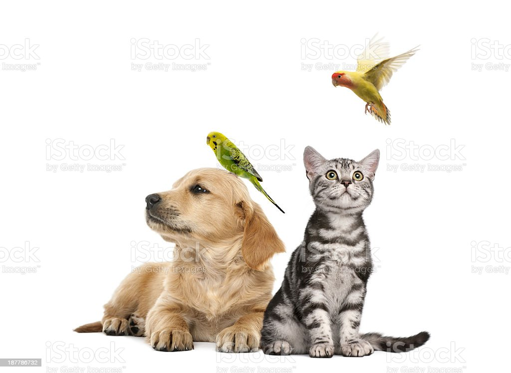 Golden retriever puppy lying with a Parakeet perched stock photo