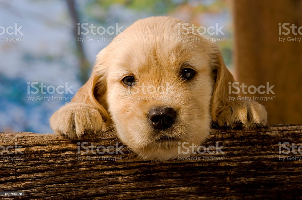 Golden Retriever puppy on a fence rail royalty-free stock photo