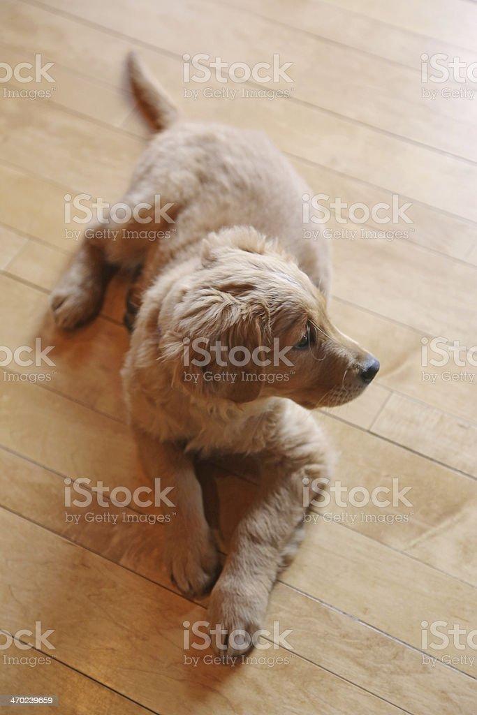 Golden retriever puppy on maple wood floor royalty-free stock photo
