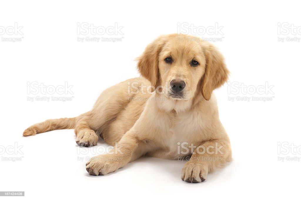 Golden retriever puppy on white background stock photo