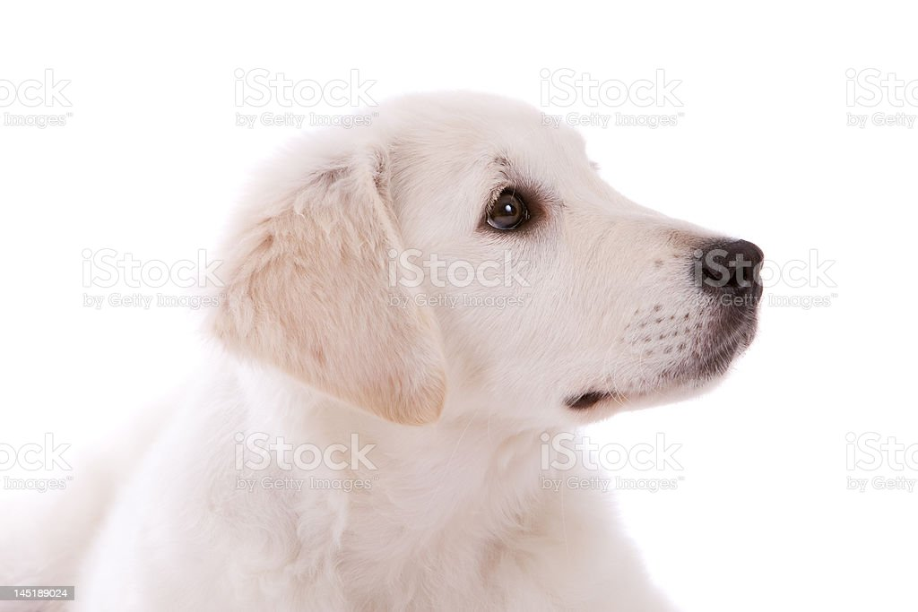 Golden retriever puppy royalty-free stock photo