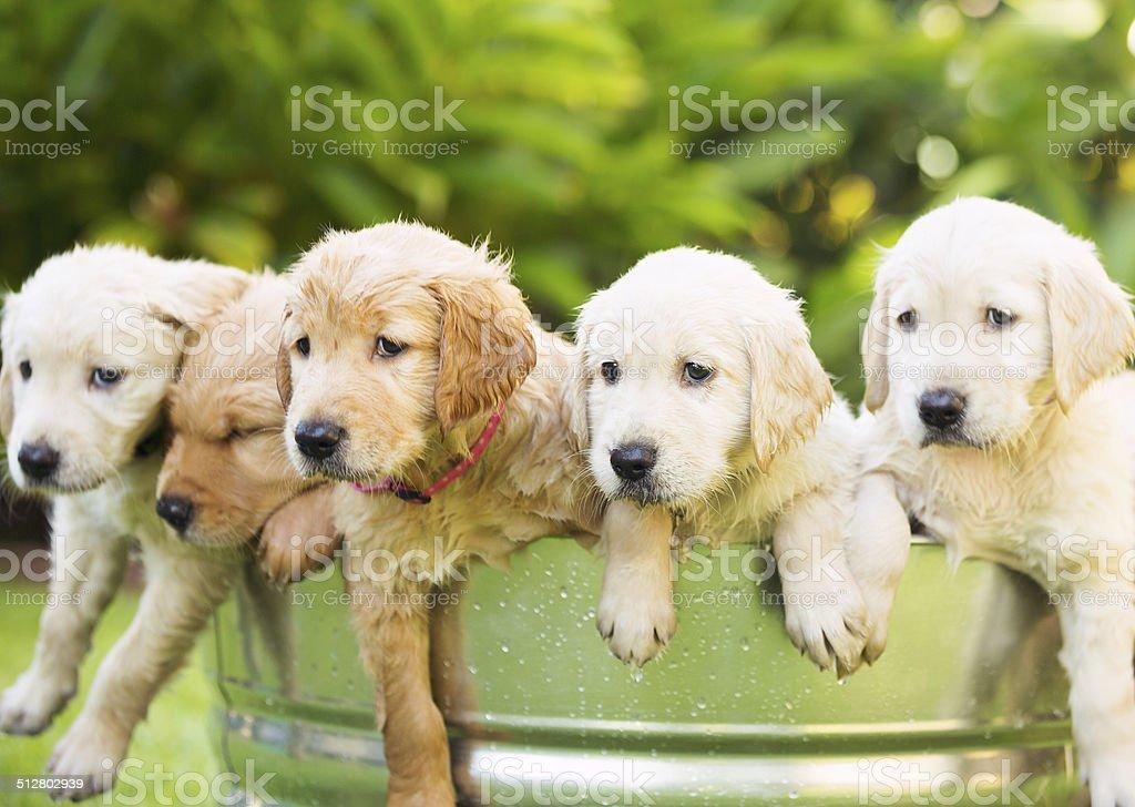 Golden Retriever Puppy stock photo
