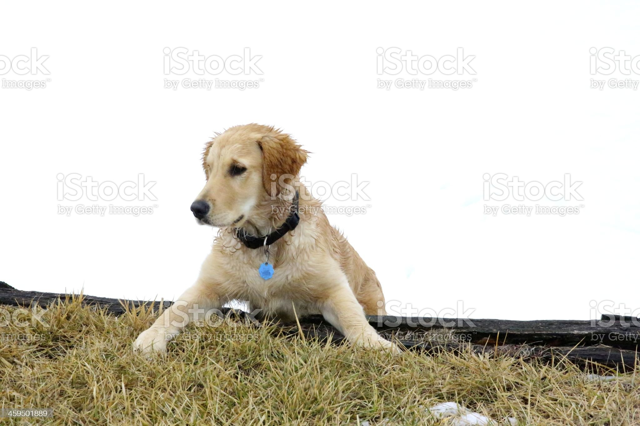 Golden Retriever puppy playing in snow royalty-free stock photo