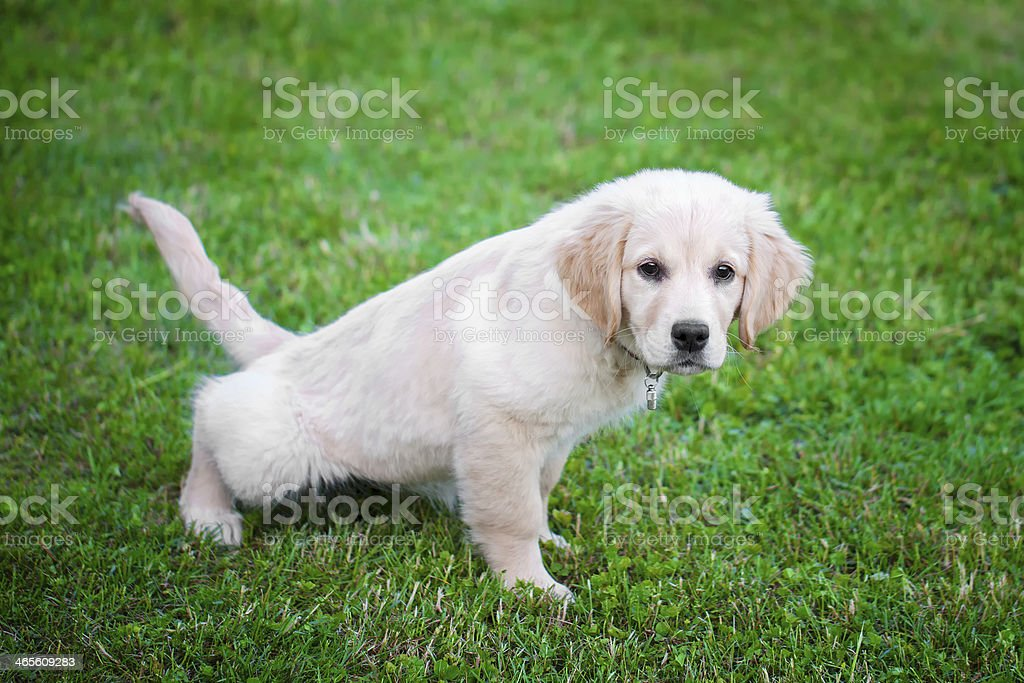 A golden retriever puppy potty training royalty-free stock photo