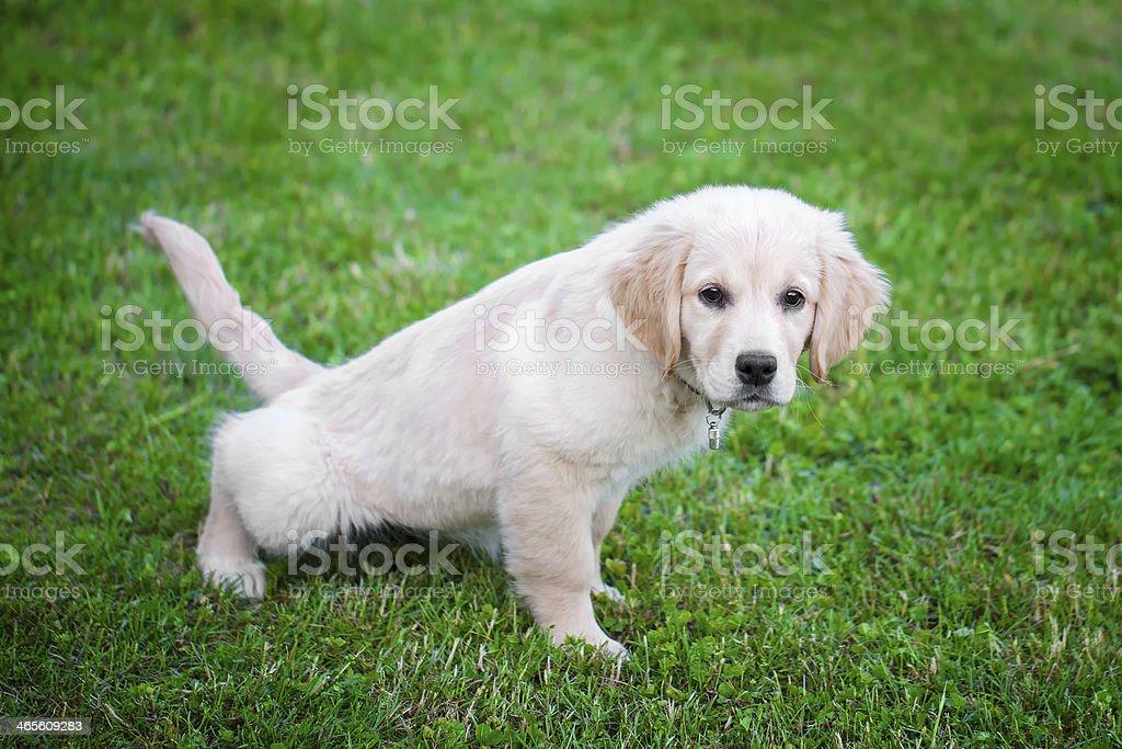 A golden retriever puppy potty training stock photo