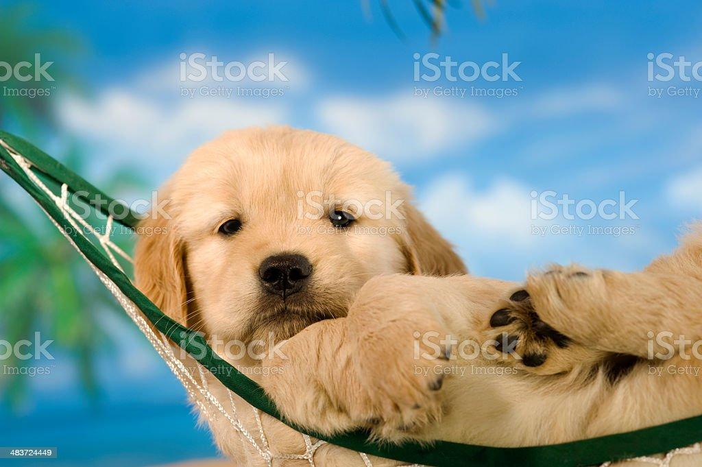 Golden Retriever puppy relaxing in hammock stock photo