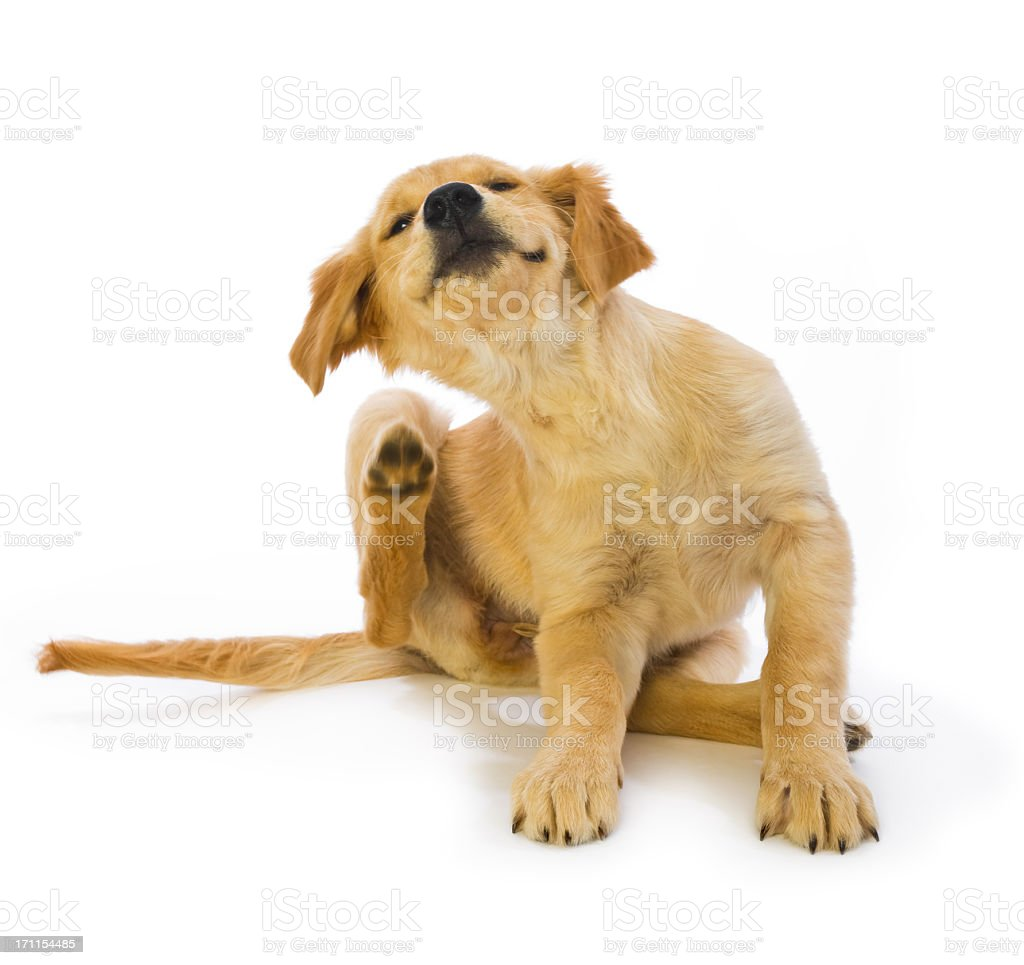 Golden Retriever Puppy Scratching fleas on white background stock photo