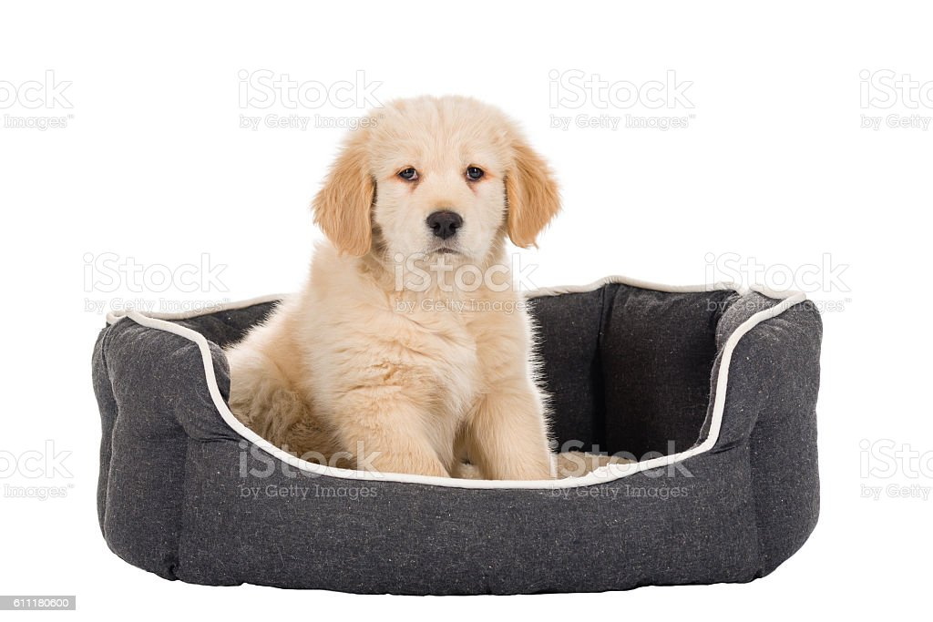 Golden Retriever puppy sitting in basket isolated on white backg stock photo