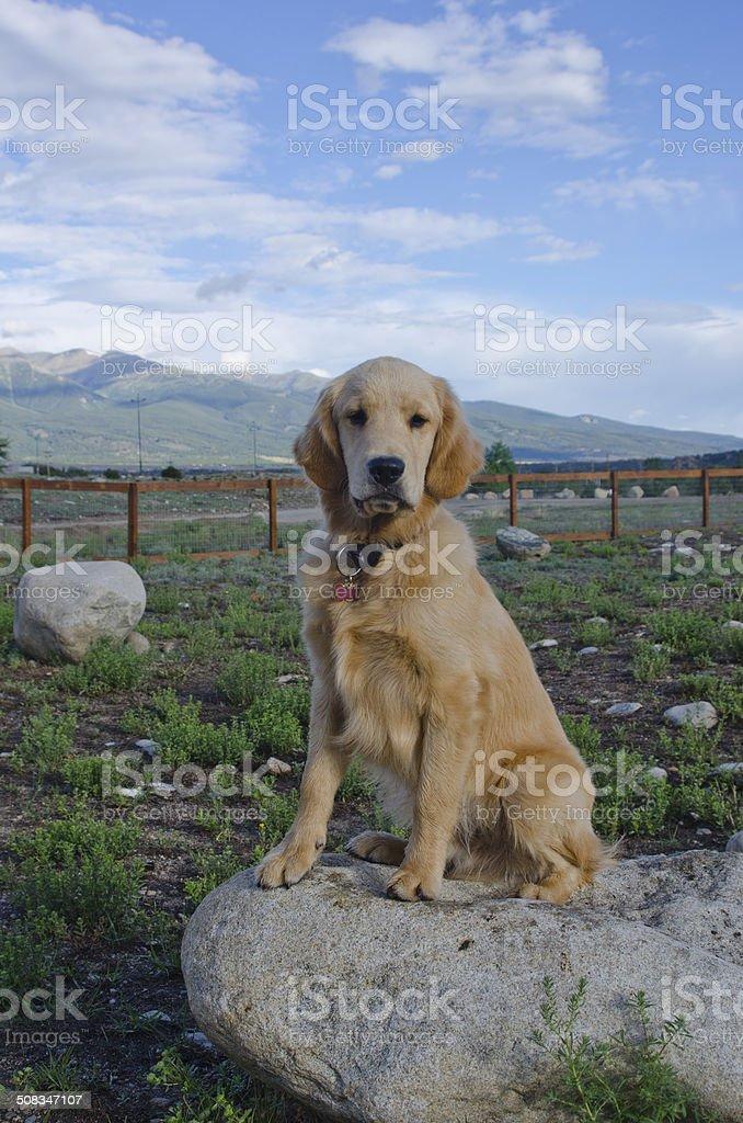 Golden Retriever Puppy Sitting on Boulder stock photo