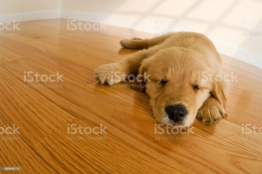 Golden Retriever Puppy sleeping on hardwood floor royalty-free stock photo
