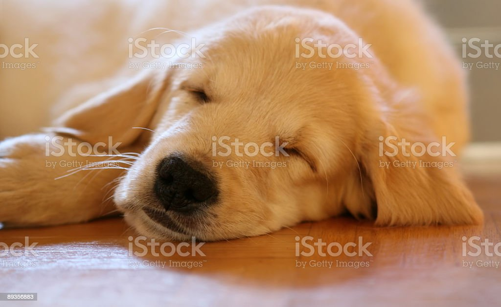 Golden retriever puppy sleeping on the wooden floor royalty-free stock photo