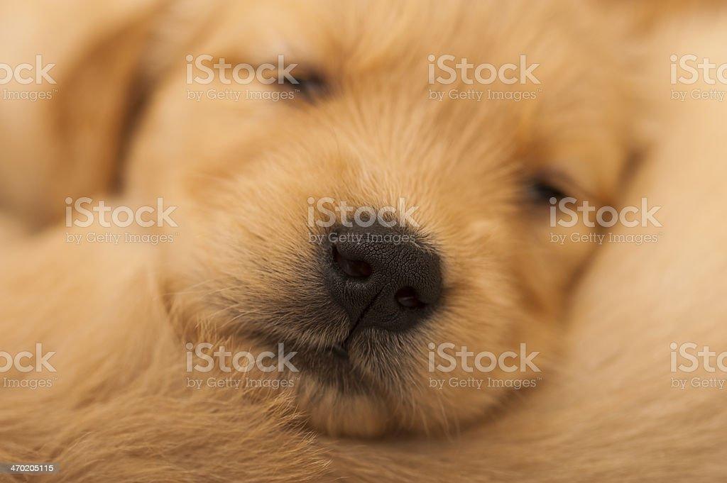 Golden retriever puppy sleeping royalty-free stock photo