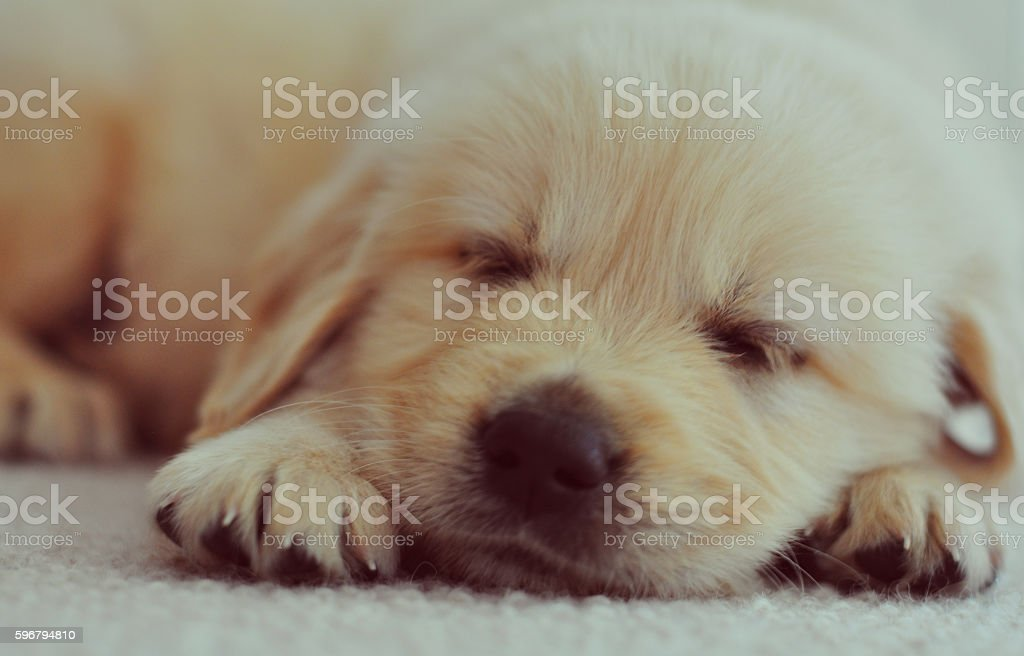 Golden retriever puppy sleeping stock photo