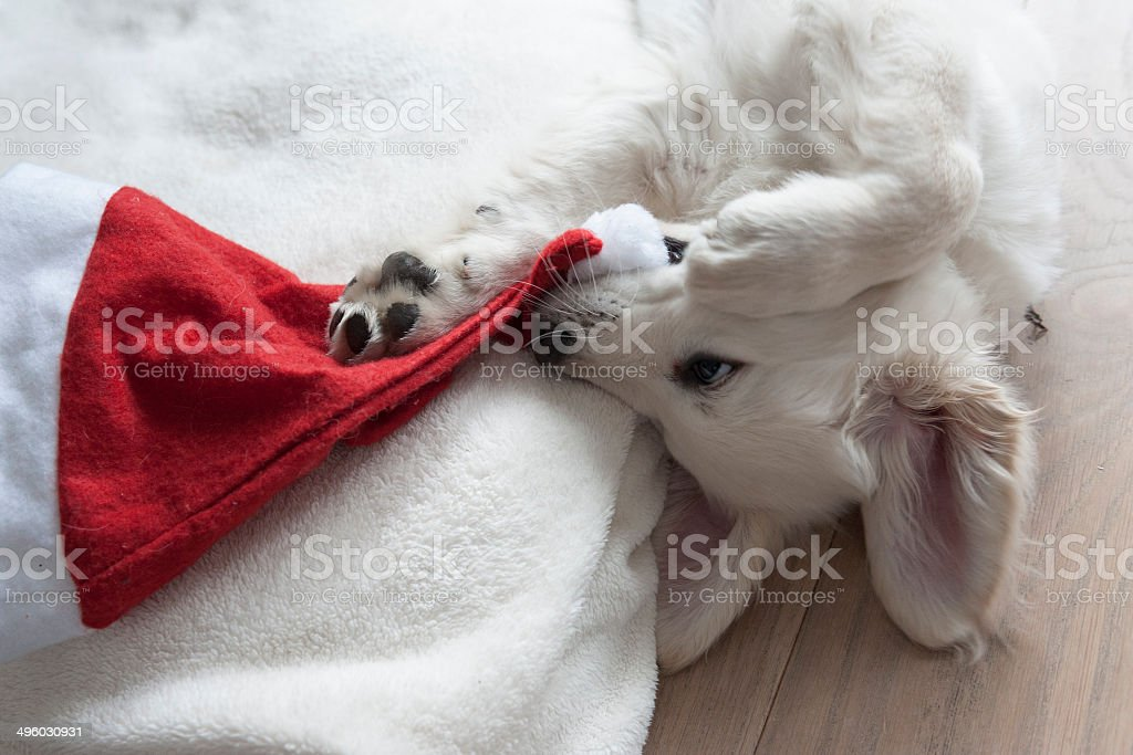 golden retriever puppy with a christmas hat stock photo