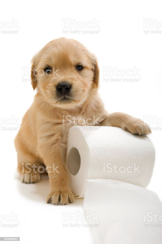 Golden Retriever puppy with a roll of toilet paper royalty-free stock photo
