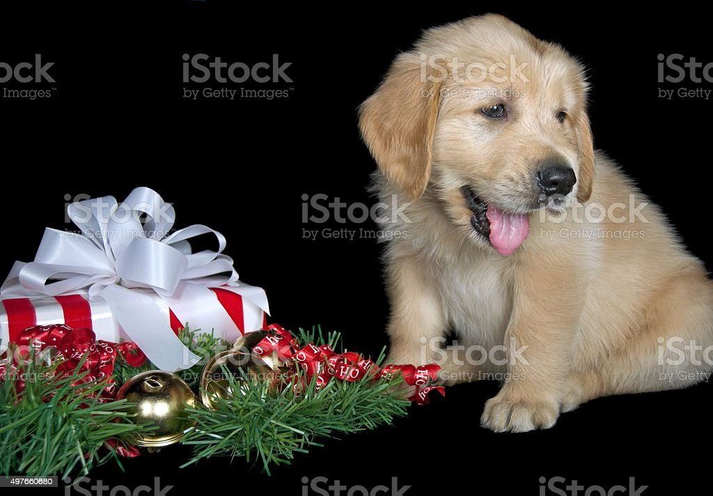 golden retriever puppy with Christmas gift stock photo