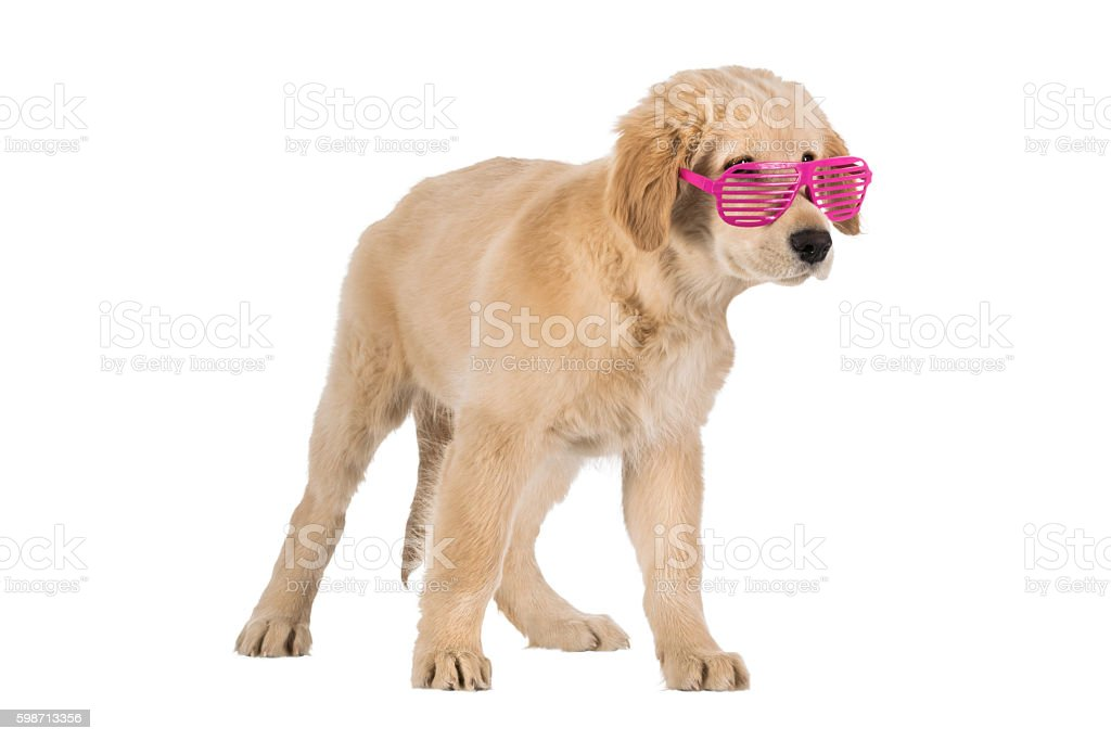 Golden Retriever puppy with pink slot glasses isolated on white stock photo