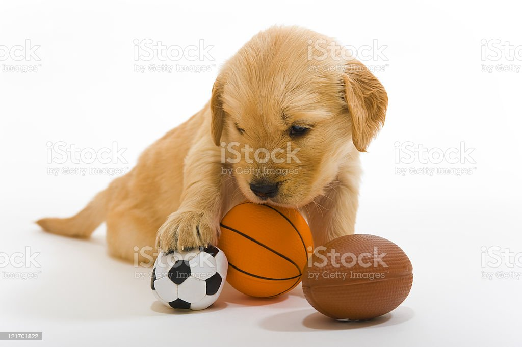 Golden Retriever puppy with sports balls royalty-free stock photo