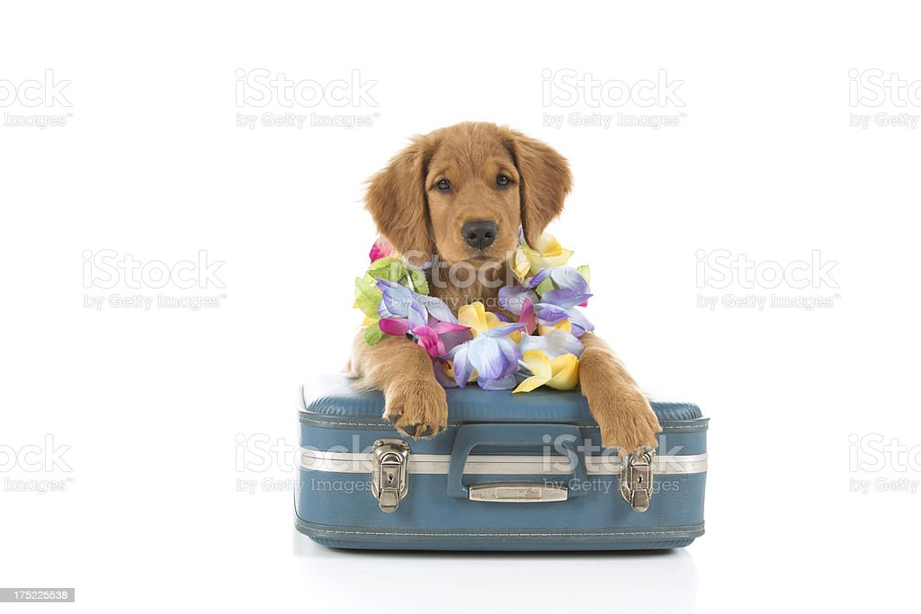 Golden Retriever Puppy with Suitcase and Lei royalty-free stock photo