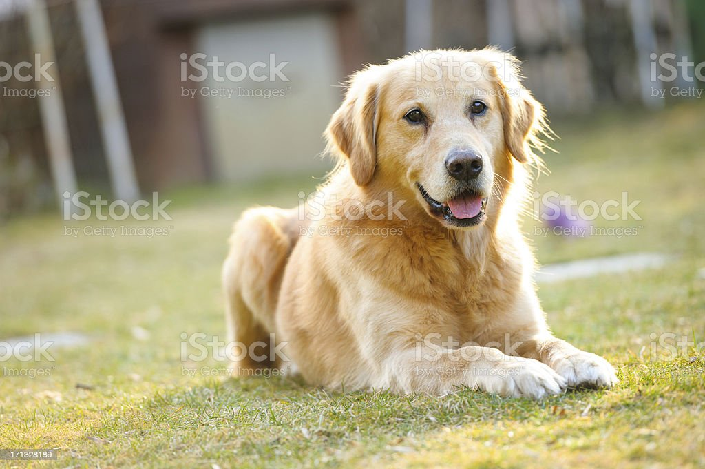 Golden retriever reclined on the grass stock photo