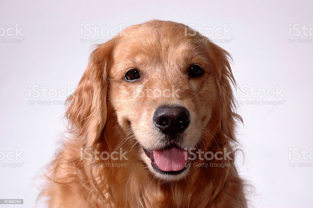 Golden Retriever, Relaxed & Happy stock photo