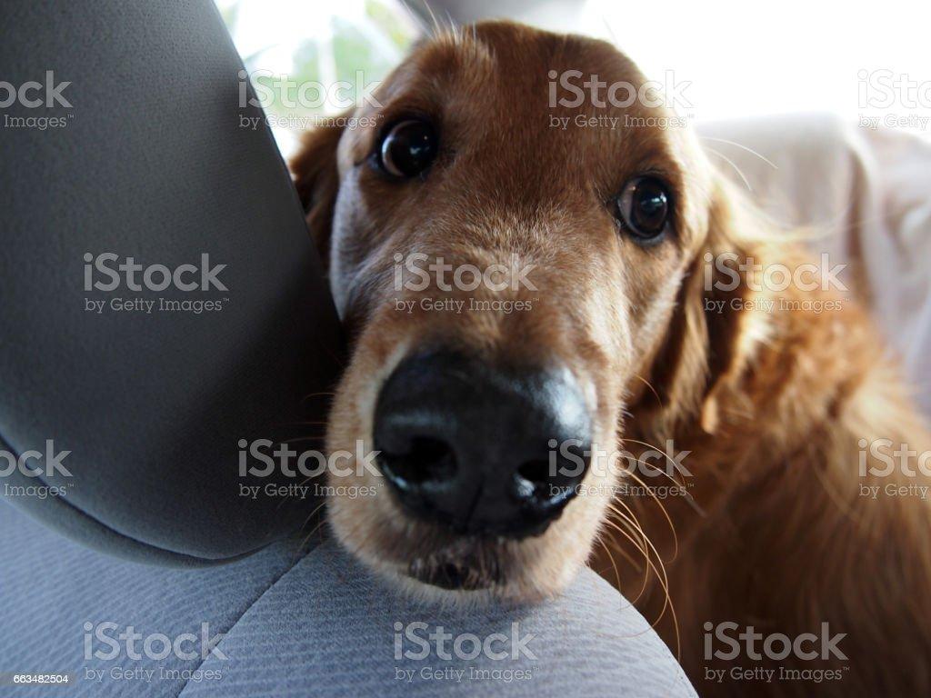 Golden Retriever rest head on seat of car stock photo