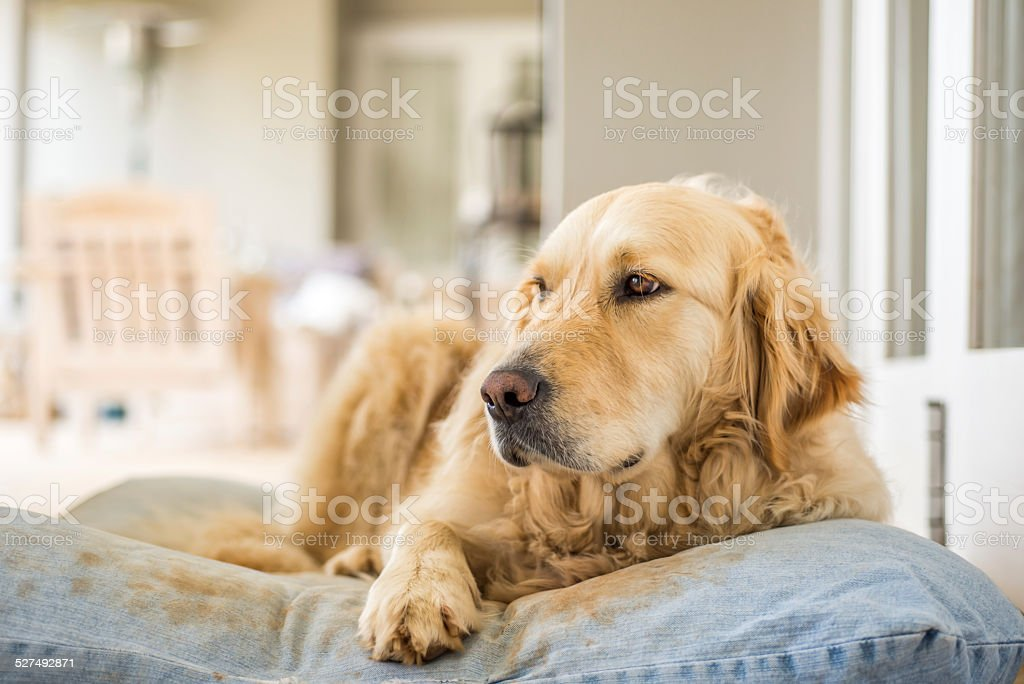 Golden Retriever Resting stock photo