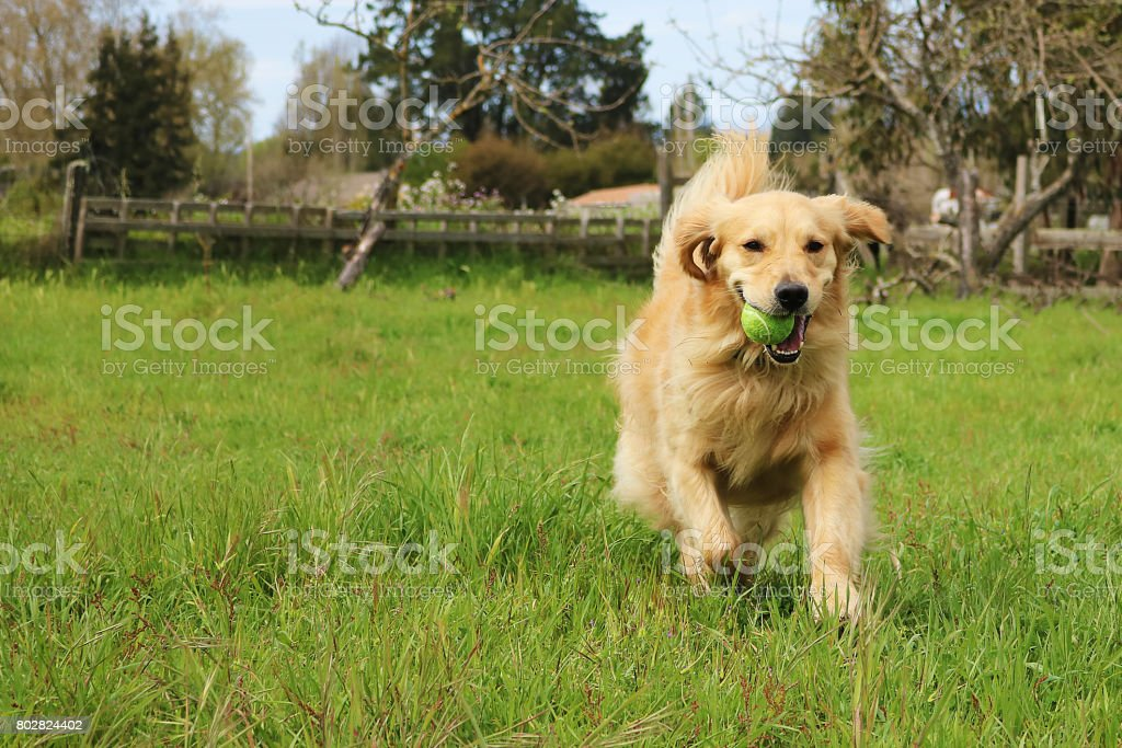 Golden Retriever Running In A Field With A Ball In Her Mouth stock photo