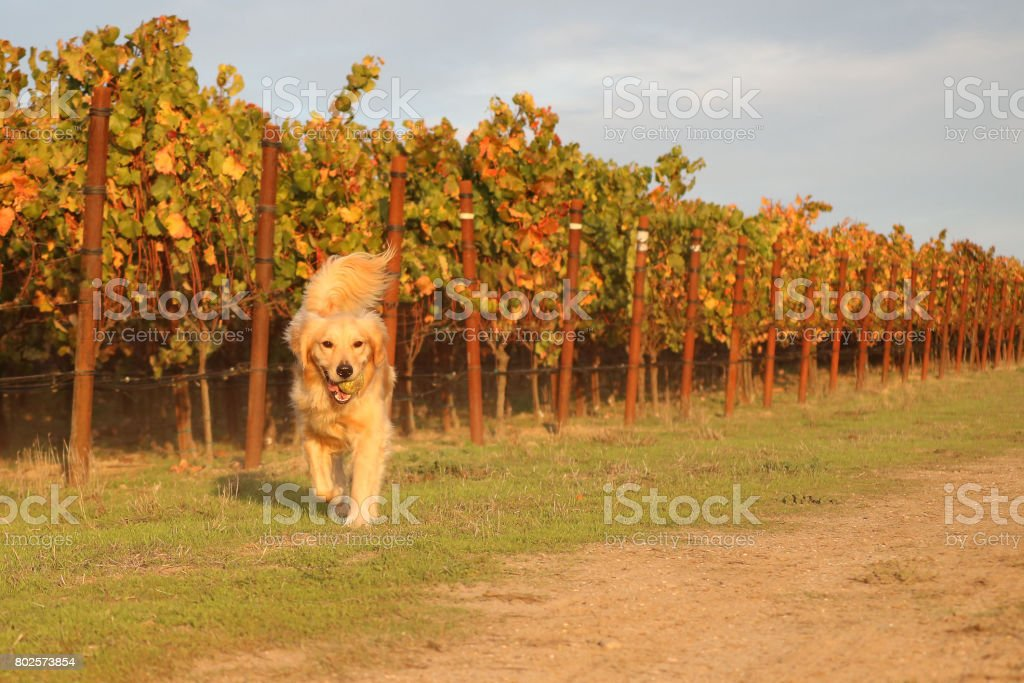 Golden Retriever Running In Vineyard With A Ball In Her Mouth stock photo