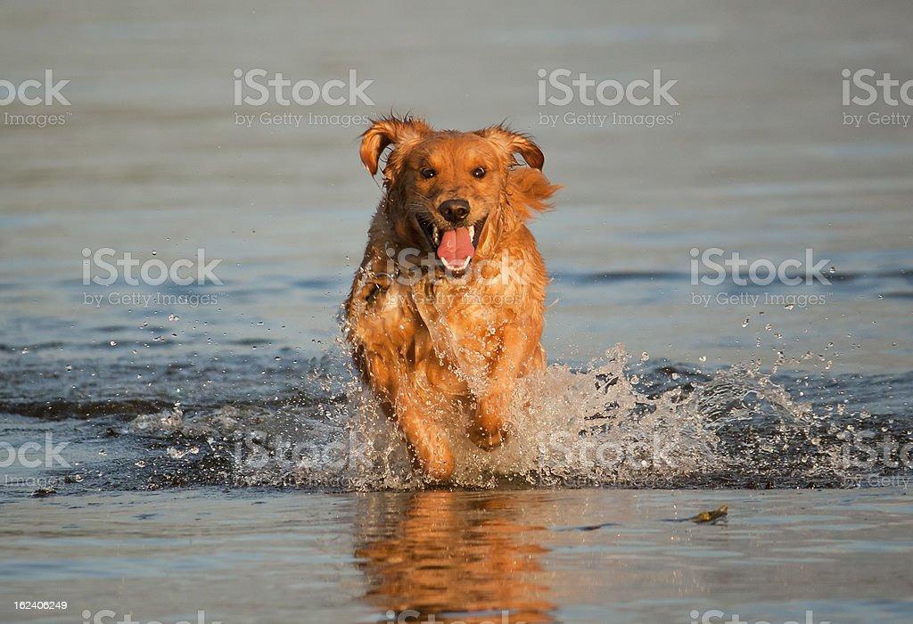 Golden Retriever Running in Water royalty-free stock photo