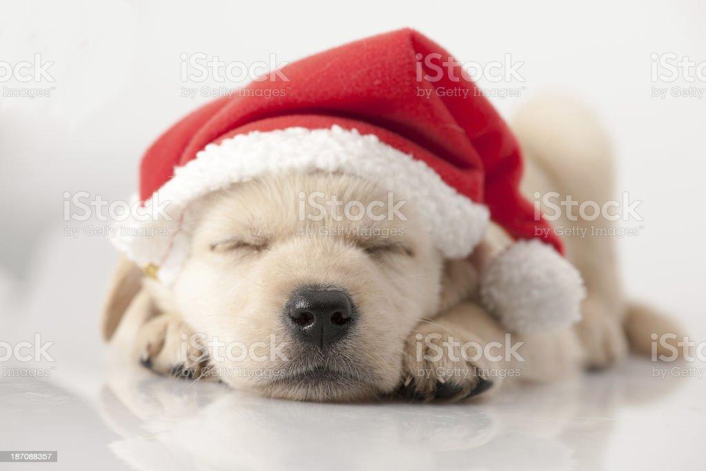 golden retriever santa puppy stock photo