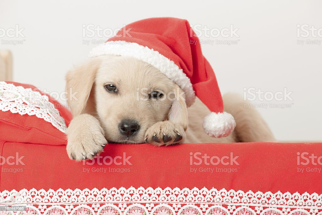 golden retriever santa puppy royalty-free stock photo