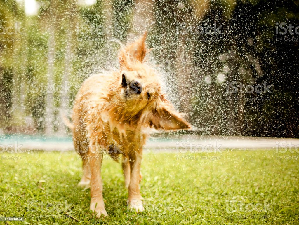 Golden retriever shaking off water in lawn stock photo
