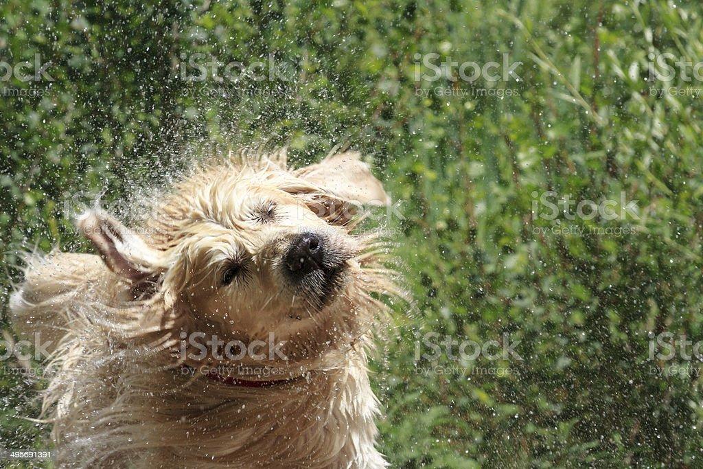 Golden Retriever shaking off water stock photo