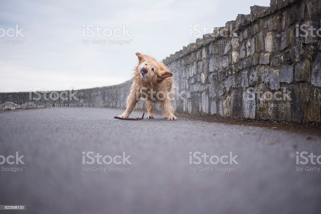 Golden Retriever shaking off water stock photo