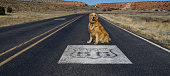 Golden Retriever Sits by Route 66 Emblem on Road