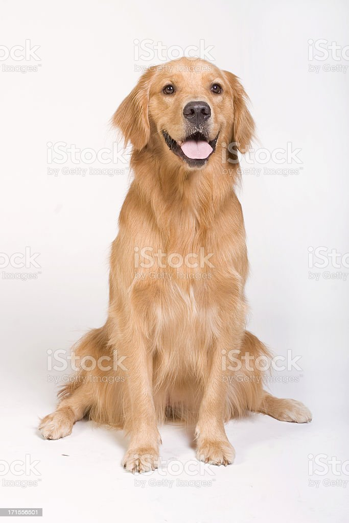 Golden Retriever sitting stock photo