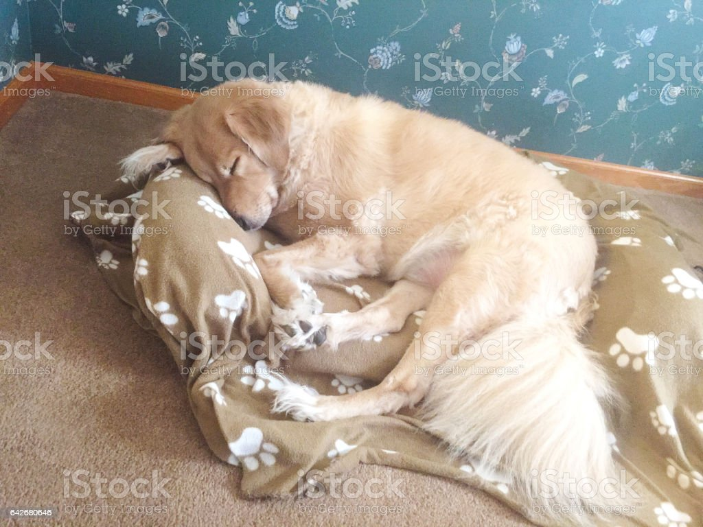 Golden Retriever sleeping in bed stock photo