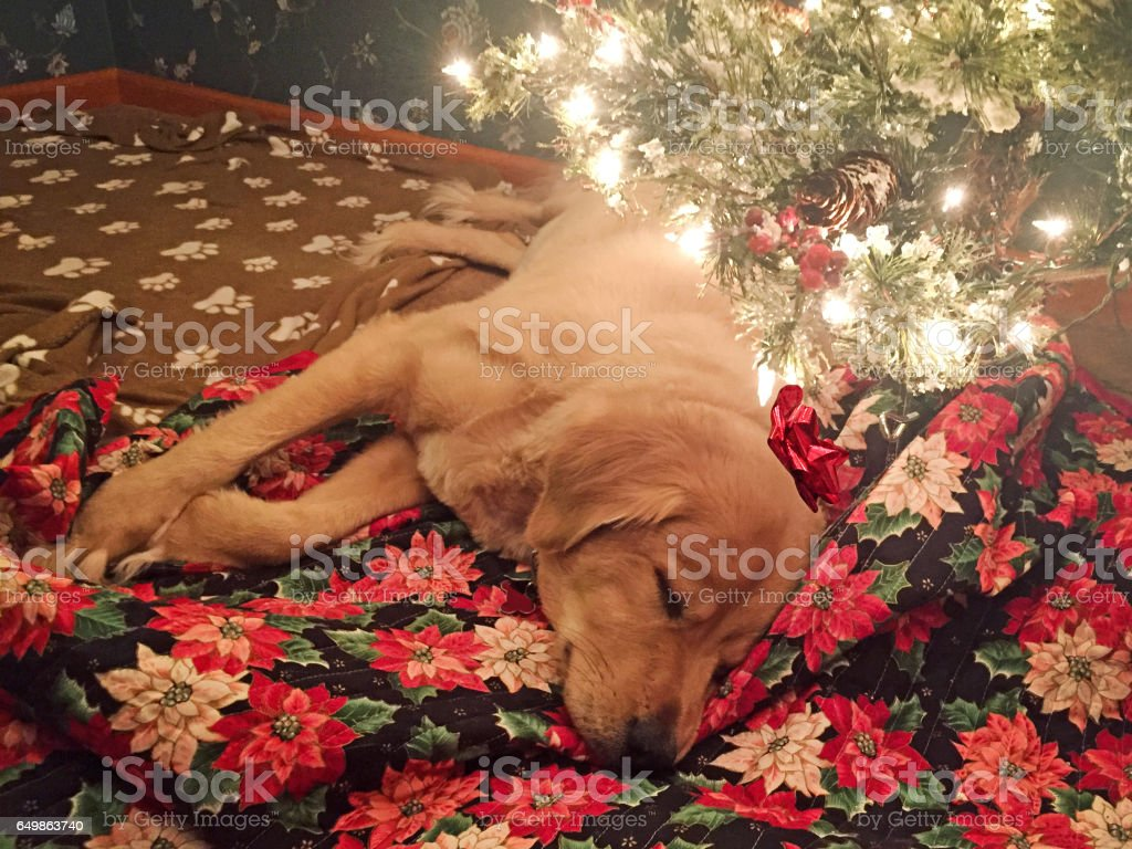 Golden Retriever sleeping under Christmas Tree stock photo
