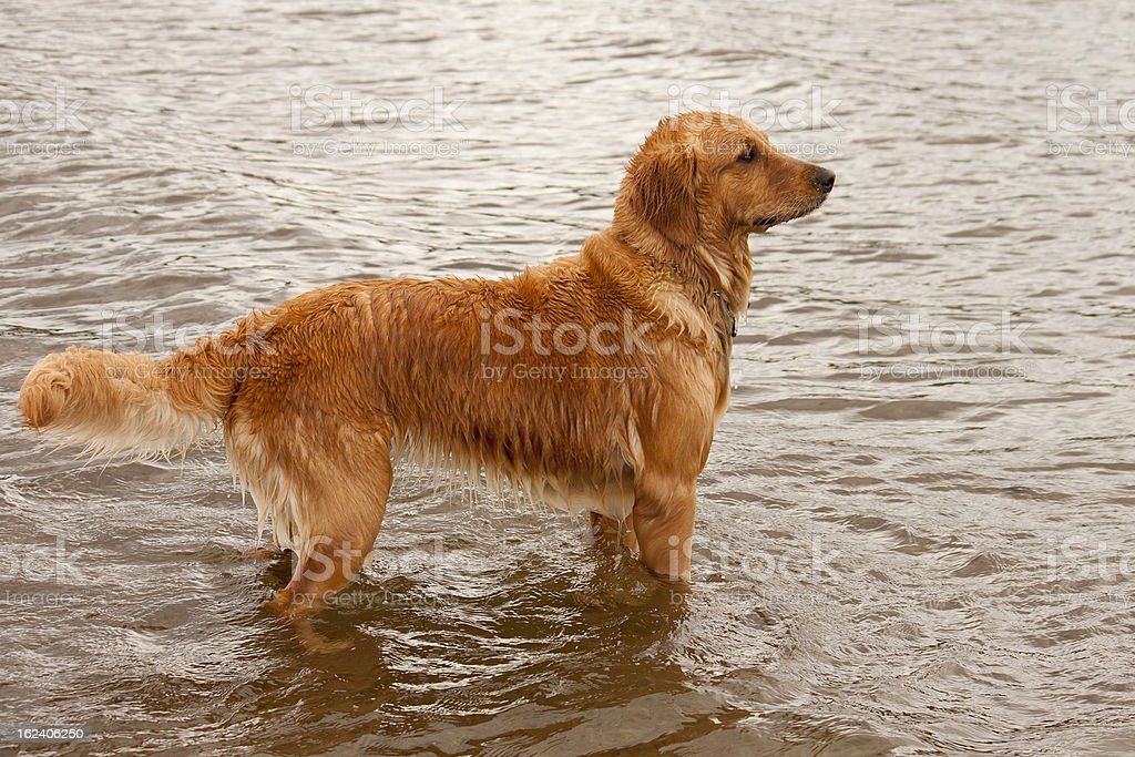 Golden Retriever Standing in Water royalty-free stock photo