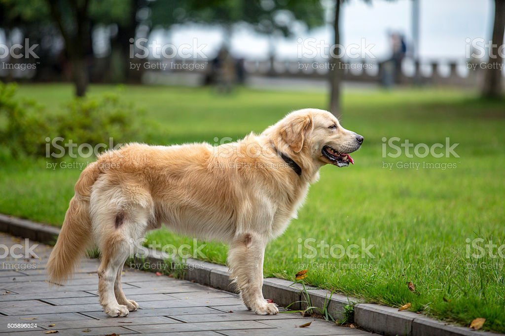golden retriever standing on sidewalk stock photo