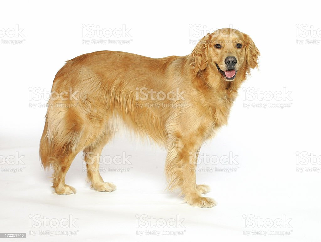 Golden Retriever Standing royalty-free stock photo