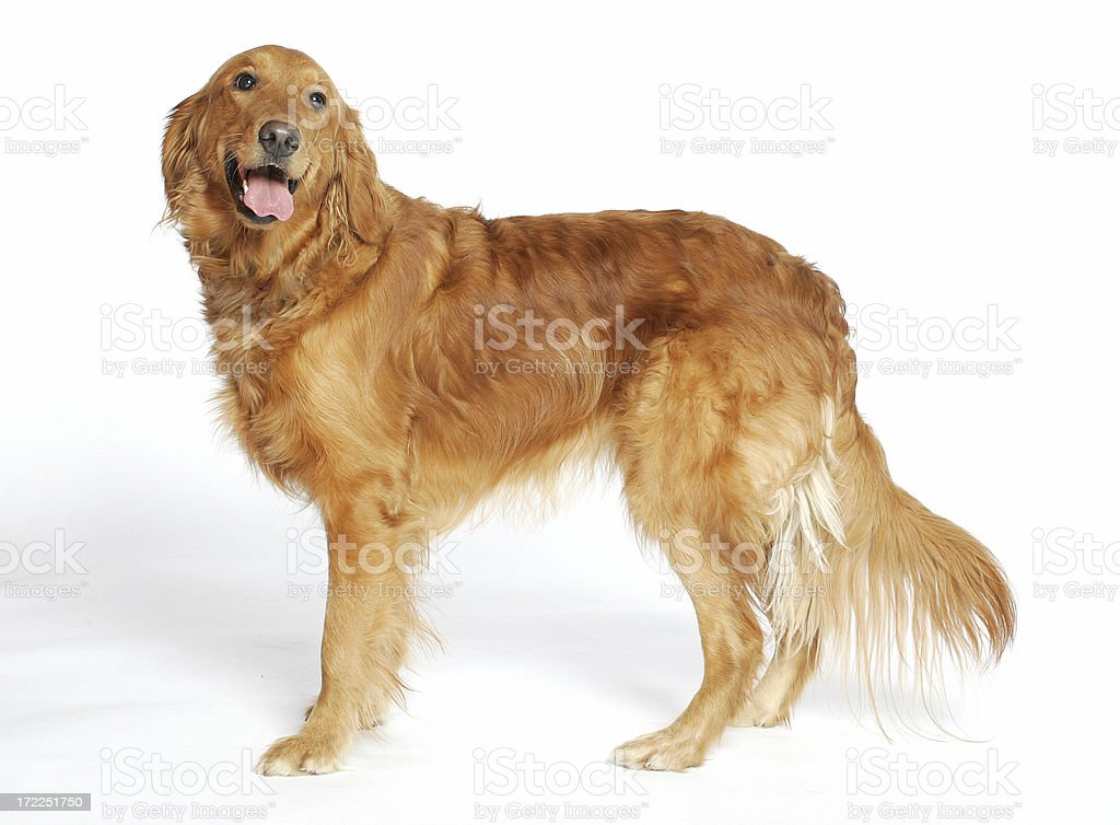 Golden Retriever stands royalty-free stock photo