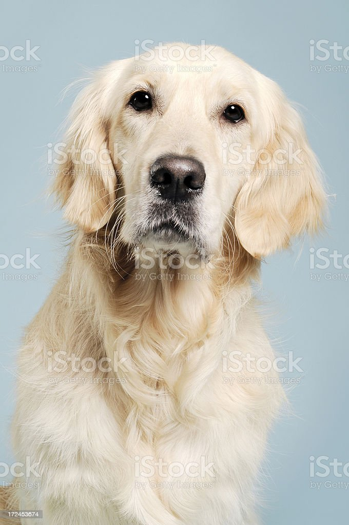 Golden retriever studio portrait royalty-free stock photo