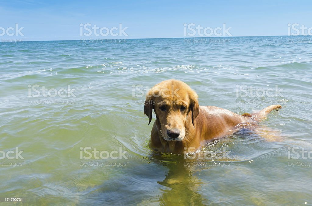 Golden retriever swimming in tropical beach royalty-free stock photo
