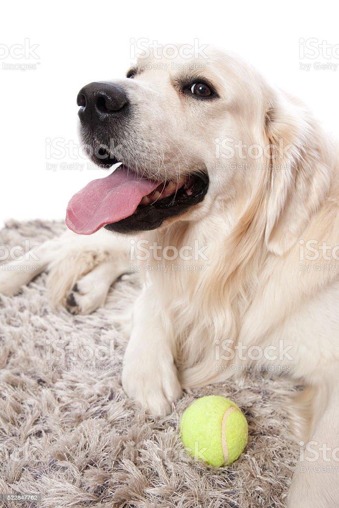 Golden Retriever Tennis Ball stock photo